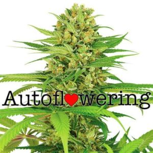 Bubble Gum Autoflower Seeds