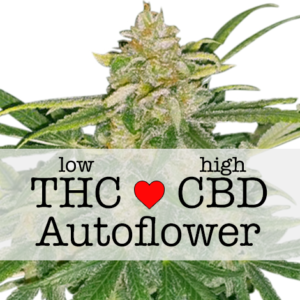 Critical Mass CBD Autoflower